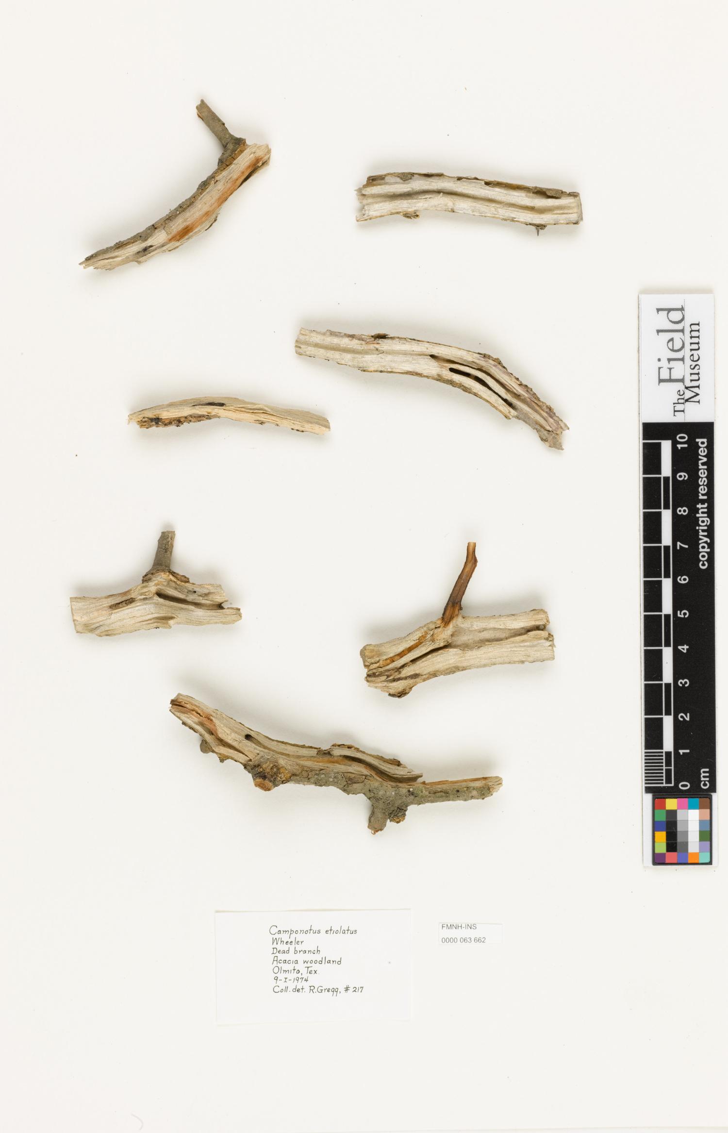 Image of Camponotus etiolatus
