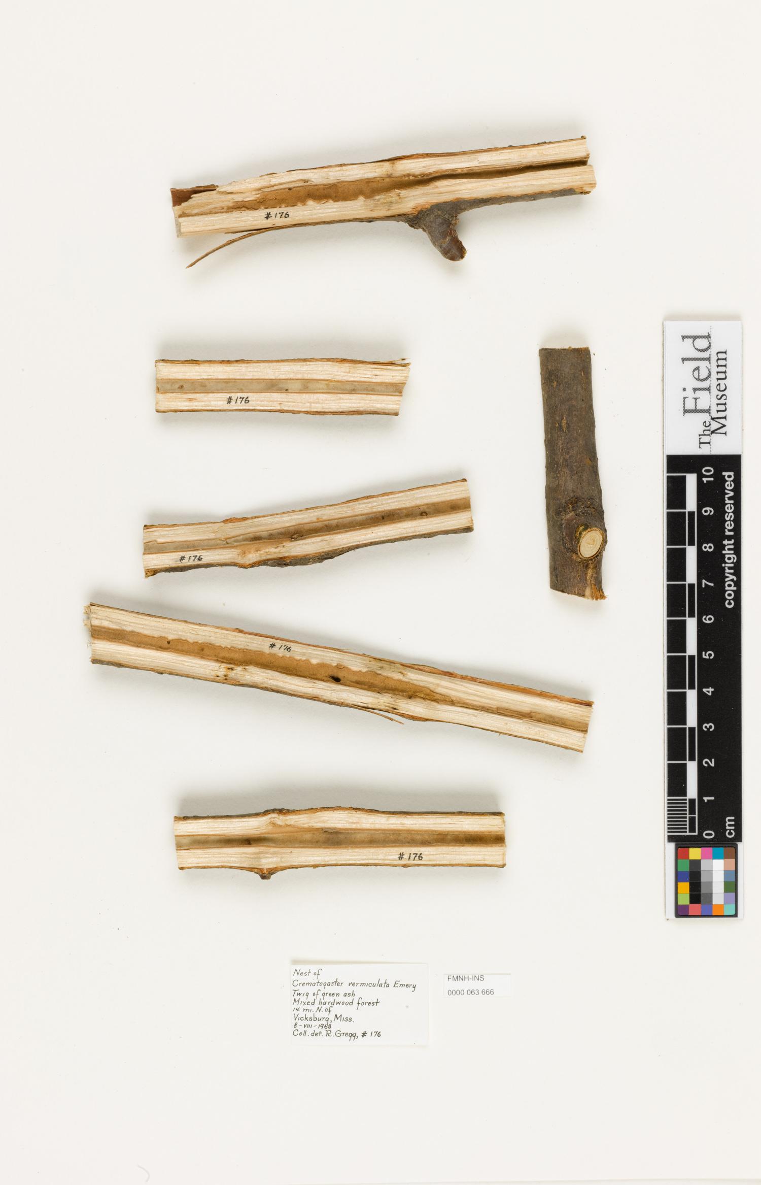 Image of Crematogaster vermiculata