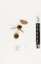 63707 Camponotus caryae discolor Nest IN