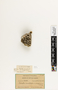 63749 Polistes canadensis amazonicus Nest b IN