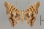 124018 Asterocampa clyton male v IN