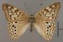 124023 Asterocampa celtis female d IN