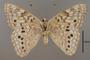 124023 Asterocampa celtis female v IN