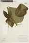 Miconia aeruginosa image