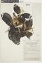 Miconia albicans image