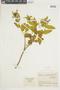 Miconia asclepiadea image