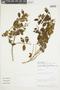 Miconia aspergillaris image