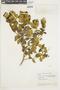 Miconia alypifolia image