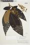Miconia biglandulosa image