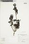 Miconia bullata image