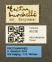 45226 Eciton burchellii L IN