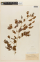 Calliandra tergemina var. emarginata (Humb. & Bonpl. ex Willd.) Barneby, VENEZUELA, F