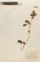 Calliandra tergemina (L.) Benth., VENEZUELA, F