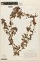 Calliandra tergemina (L.) Benth., COLOMBIA, F