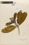 Miconia calophylla image