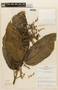 Miconia calvescens image