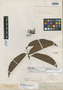 Peritassa smaragdina Miers, ECUADOR, R. Spruce 3264, Syntype, F