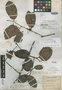 Salacia granulata Urb., Trinidad and Tobago, W. E. Broadway 4460, Isotype, F