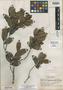 Humiria balsamifera var. minarum Cuatrec., BRAZIL, Y. Mexia 5815, Isotype, F