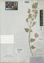 Salvia ballotaeflora var. pinguifolia Fernald, U.S.A., C. Wright 1524, Isosyntype, F