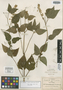 Salvia arthrocoma Fernald, Mexico, C. G. Pringle 8940, Isotype, F