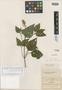Salvia arthrocoma Fernald, Mexico, C. G. Pringle 8940, Isotype, F