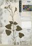 Salvia atriplicifolia Fernald, MEXICO, A. B. Ghiesbreght 759, Isotype, F
