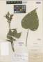 Salvia atrocaulis Fernald, Mexico, C. G. Pringle 8887, Isotype, F