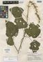 Salvia atropaenulata Epling, Mexico, Y. Mexia 9056, Isotype, F