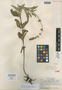 Salvia azurea subsp. mexicana Epling, Mexico, C. H. Müller 857, Isotype, F