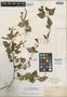 Salvia betulifolia Epling, MEXICO, E. Palmer 477, Isotype, F