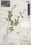 Salvia blepharophylla Brandegee, Mexico, C. A. Purpus 5450, Isotype, F