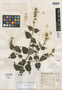 Salvia capillosa Epling, Mexico, G. B. Hinton 13020, Isotype, F