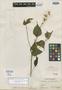 Salvia caudata Epling, C. H. Müller 143, Holotype, F