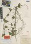 Salvia chalarothyrsa Fernald, Mexico, C. G. Pringle 8856, Isotype, F