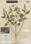 Salvia chia Fernald, Mexico, E. Palmer 334, Isotype, F