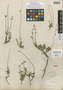 Salvia coahuilensis Fernald, Mexico, E. Palmer 194, Isolectotype, F