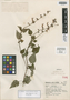 Salvia cyanantha Epling, MEXICO, G. B. Hinton 15350, Isotype, F