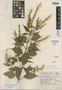 Salvia decora Epling, Mexico, G. B. Hinton 9762, Isotype, F