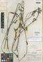 Salvia exilis Epling, Mexico, Y. Mexia 9097, Isotype, F