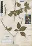 Salvia fallax Fernald, Mexico, E. Palmer 1964, Isotype, F