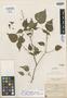 Salvia flaccidifolia Fernald, Mexico, C. G. Pringle 10298, Isotype, F