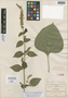 Salvia fluviatilis Fernald, Mexico, C. G. Pringle 6850, Isolectotype, F