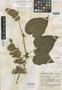 Salvia gravida Epling, Mexico, G. B. Hinton 12355, Isotype, F