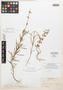 Salvia heterotricha Fernald, Mexico, E. Palmer 53, Isolectotype, F