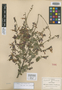Salvia iodantha Fernald, Mexico, C. G. Pringle 8039, Isotype, F