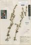 Salvia jacobi Epling, Mexico, G. B. Hinton 14110, Isotype, F