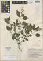Salvia languidula Epling, Mexico, G. B. Hinton 10351, Isotype, F