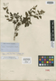 Salvia laxa Benth., MEXICO, J. L. Berlandier 2241, Isotype, F