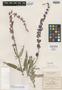 Salvia leucantha f. iobaphes Fernald, Mexico, C. G. Pringle 8402, Isotype, F